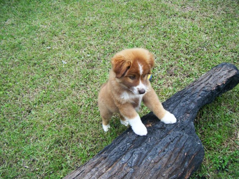cute australian shepherd puppy picture.jpg