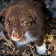 cute brown Australian Shepherd puppy in nature.jpg