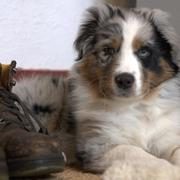 cute looking Australian Shepherd puppy.jpg
