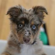 cute puppy photo of a Australian Shepherd dog.jpg
