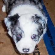 cute small white and black dots Australian Shepherd puppy.jpg
