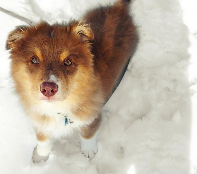 funny picture of a golden Australian Shepherd puppy.jpg