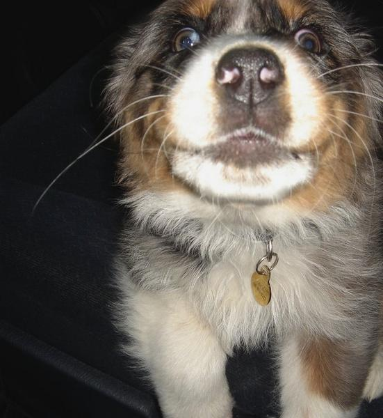 funny picture of Australian Shepherd puppy face very close up.jpg