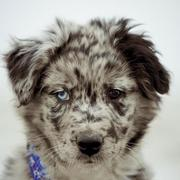 mini australian shepherd puppy.jpg
