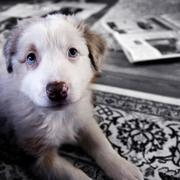 mixed australian shepherd puppy.jpg