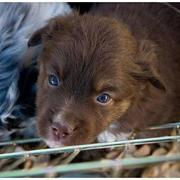 mixed Australian Shepherd puppy in chocolate color.jpg