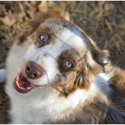 pics of Australian Shepherd puppy.jpg