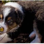 picture of a young Australian Shepherd puppy.jpg