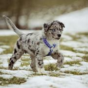 picture of australian shepherd puppy.jpg