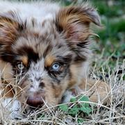 picture of Australian Shepherd puppy face close up.jpg