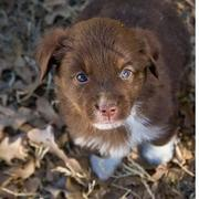 picture of brown Australian Shepherd puppy.jpg