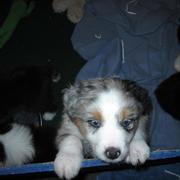 pretty Australian Shepherd puppy photo.jpg