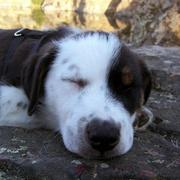 sleepy Australian Shepherd puppy.jpg