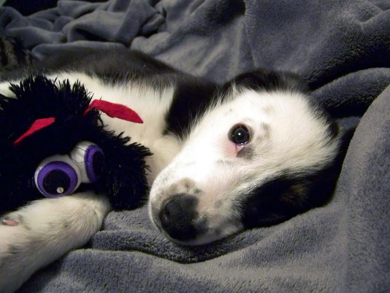 so cute puppy Australian Shepherd.jpg