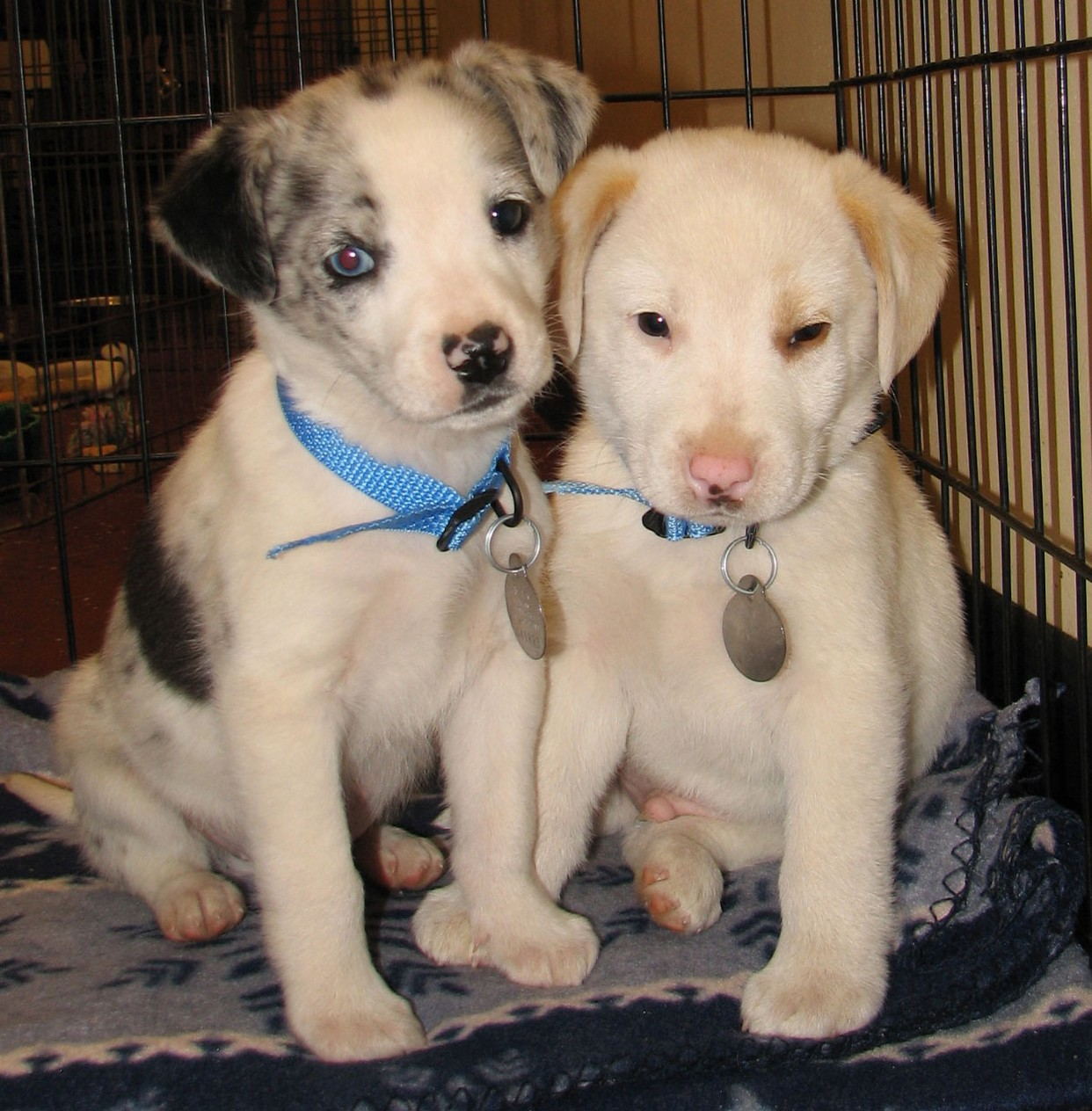 two Australian Shepherd puppies.jpg