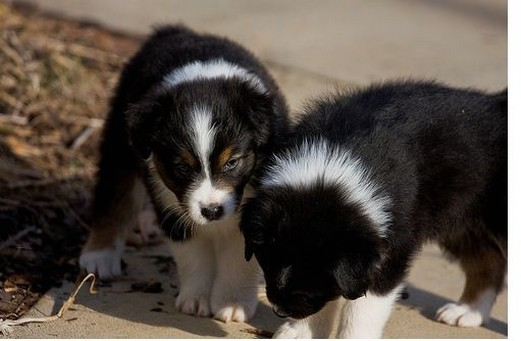 two Australian Shepherd puppies photos.jpg