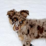 unique colored Australian Shepherd puppy in snow.jpg