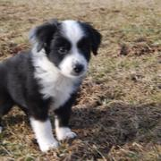 white and black Australian Shepherd pup.jpg
