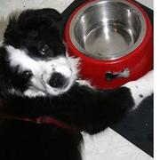 white and black Australian Shepherd puppy laying next to its food bowl.jpg