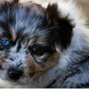 young Australian Shepherd puppy with the most beautiful blue eyes.jpg