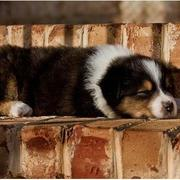 young cute Australian Shepherd puppy taking a sun bath while sleeping.jpg
