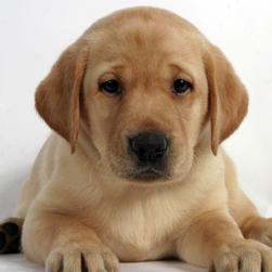 labrador in yellow.jpg