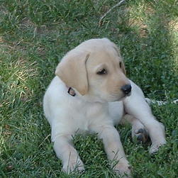 labrador on the grass.jpg