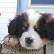 Bernese Mountain Puppy Pictures Gallery