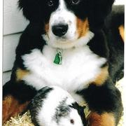 beautiful Bernese Mountain puppy with a hamster.jpg