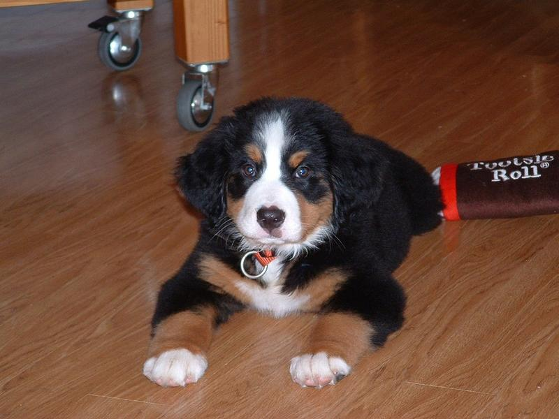 Bernese Mountain pup photos.jpg