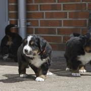 Bernese Mountain puppies at outdoor.jpg