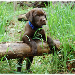 labrador pup_brown.jpg