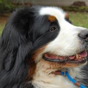 Bernese Mountain puppy picture close up - Copy.jpg
