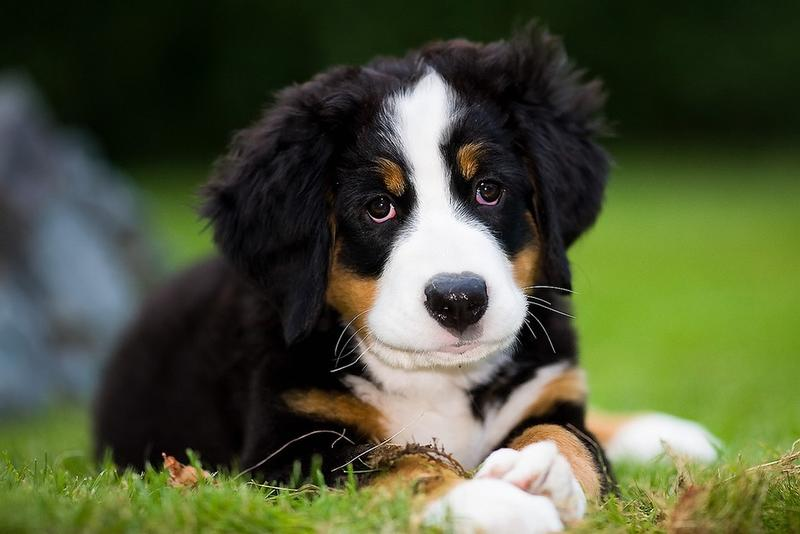 Bernese Mountain puppy post.jpg