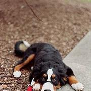 Bernese Moutain dog puppy image.jpg