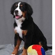 bernese puppy picture.jpg