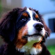 close up picture of Bernese Mountain puppy.jpg