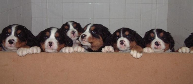 group of Bernese Mountain puppies - Copy.jpg