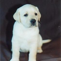 labrador pup_golden white.jpg