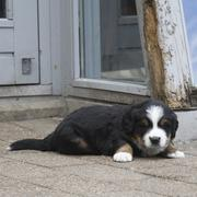 young Bernese Mountain puppy picture.jpg