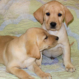 labrador puppies1.jpg