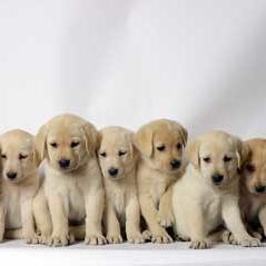 labrador puppies.jpg