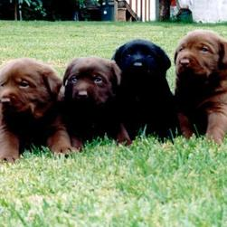 labrador puppies_black and chocolate.jpg