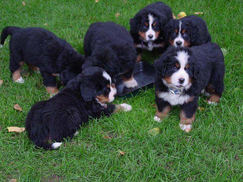 group of bernese moutain dogs.jpg