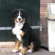 picture of bernese moutain dog pup.jpg
