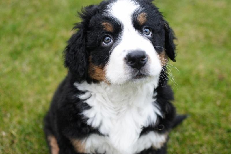 adorable looking puppy picture of a bernese dog in three colors.jpg