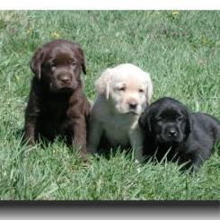 labrador puppies_black, golden and brown.jpg