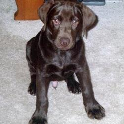 labrador puppy in chocalate.jpg