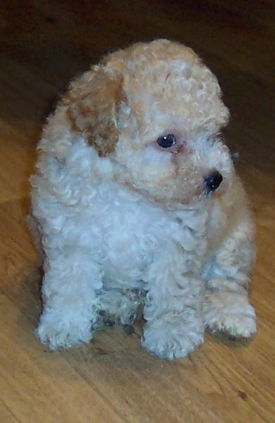 cute dog picture of a parti poodle puppy.jpg