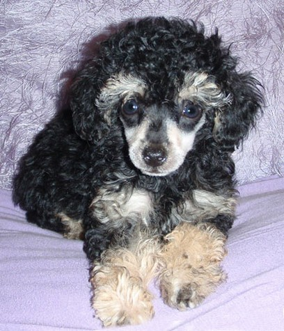 cute party poodle puppy picture.jpg